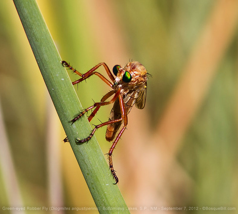 Green-eyed Robber Fly