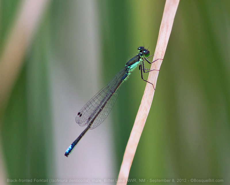 Black-fronted Forktail