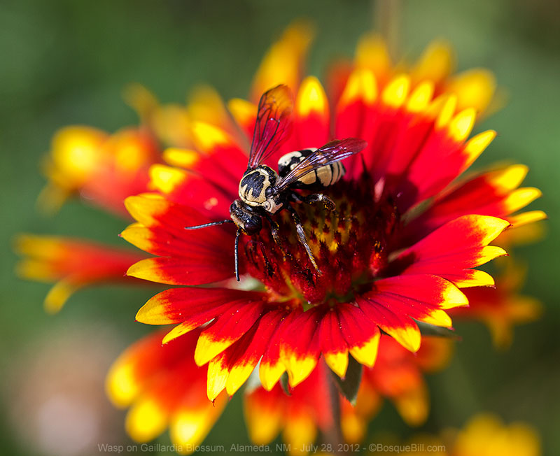 wasp on Gaillardia