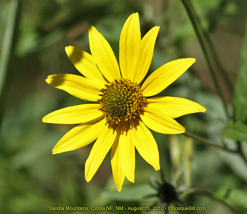 wild yellow daisy