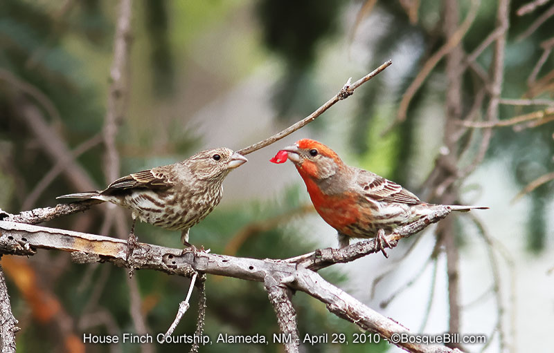 House Finch Courtship