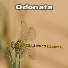Odonata Photos